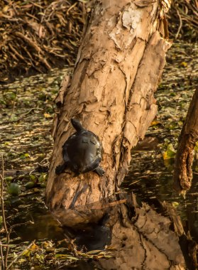 A Kreft's river turtle basking. You will see a lot of them along the river, like a lot!