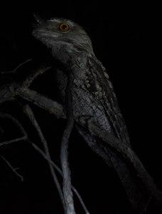 tawny-frogmouth