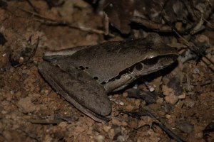 Female Jungguy Tree Frog