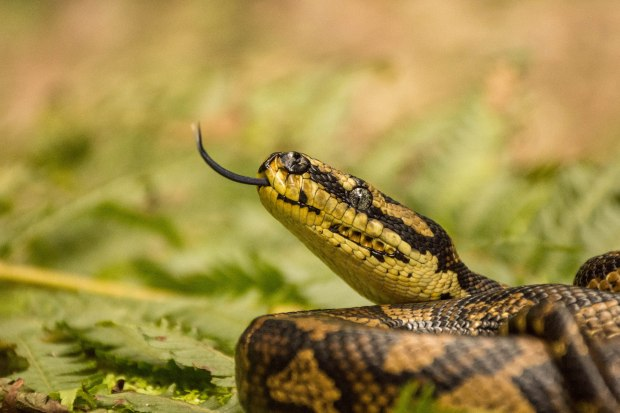 A Jungle Carpet Python (Morelia spilota cheyni). Snakes have a really unique way of sensing the chemical cues in their environment using their tongue. Also the pits near the mouth of the snake are used to detect heat.