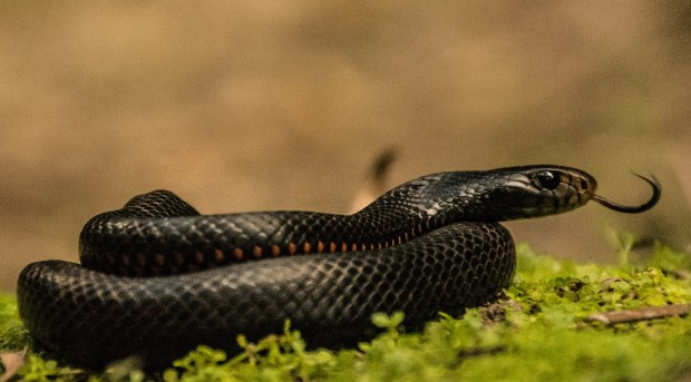 A Red- bellied black snake (Pseudechis porphyriacus) we found on surveys. You can see why they get the name because of that striking red belly.