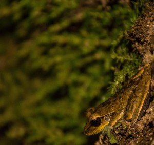 A male Jungguy Tree Frog (Litoria jungguy), there's vast difference between males and females of this species. Below is a picture of a female